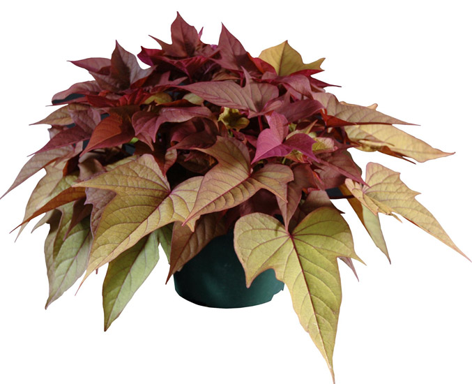Batata 'Rusty Red' - 3 plantor