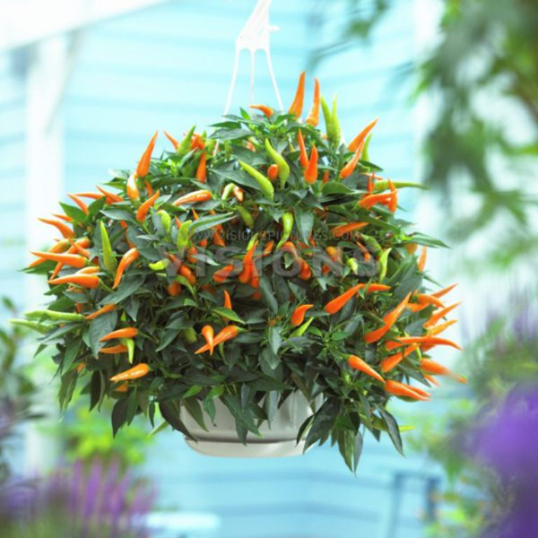 Chili 'Sweet Cascade'