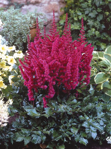 Astilbe 'Visions in Red' 3 st