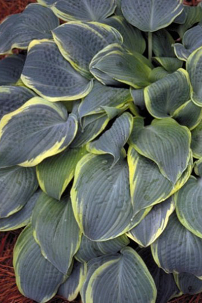 Hosta 'Frosted Dimples' 3 st