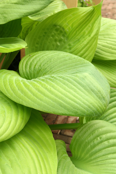 Hosta 'Sum and Substance' 3 st