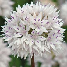 Allium ' Amplectens'