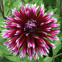 Dahlia 'Clair Obscure'