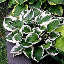 Hosta 'Patriot' 1 st