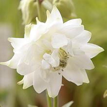 Akleja 'White Barlow' 3 st