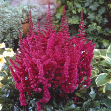 Astilbe 'Visions in Red' 1 st