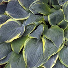 Hosta 'Frosted Dimples' 1 st