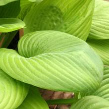 Hosta 'Sum and Substance' 1 st