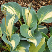 Hosta 'Dream Queen' 1 st
