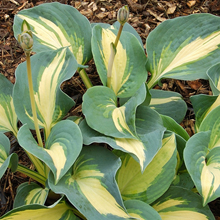 Hosta 'Dream Queen' 3 st